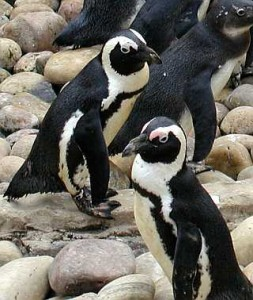 African.penguin.bristol-wikimedia-commons